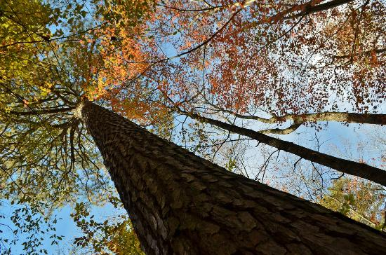 Clemmons Educational State Forest: Loblolly Pine