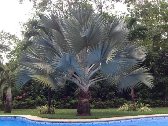 Playa Negra Guesthouse: Palm tree giving shade to the swimming pool