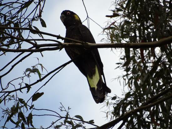 Trafalgar South, Australia: Black cockatoo in garden