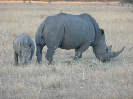 Nkomazi Game Reserve: Rhino force (mother and baby)
