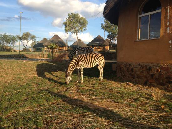 Heia Safari Ranch: Zebra by the tennis court.