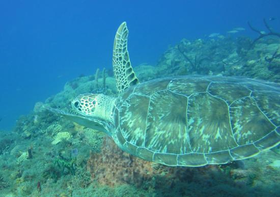 Tropicalsub Diving : Green Turtle/Anse Thomas