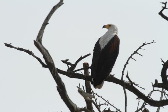 Djoudj National Bird Sanctuary: aigle pêcheur (zoom 150-600 mm avec doubleur de focale)