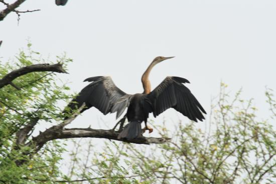 Djoudj National Bird Sanctuary: ahinga séchant ses ailes  (zoom 150-600 mm avec doubleur de focale)
