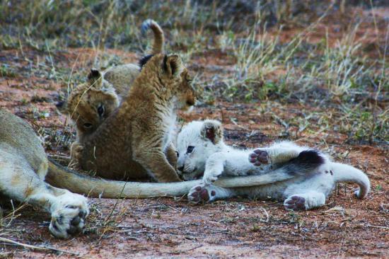 Baobab Ridge: White lions