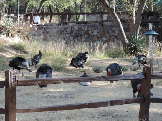 Santa Rita Lodge : Wild Turkeys at the Lodge