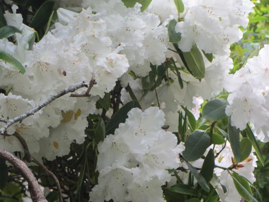 Glenfalloch Woodland Gardens: Blossom