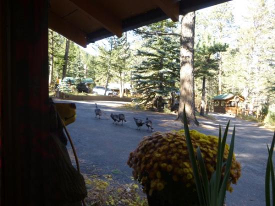 Pine Haven Resort: Wild turkeys we saw through our cabin window