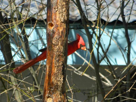 Stage Stop Inn : Northern Cardinal at Paton's backyard