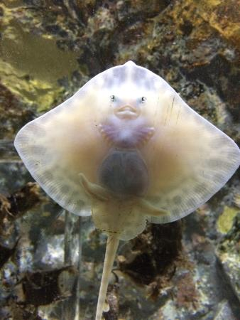 Baby stingray - Picture of Sea Life Centre Great Yarmouth, Great ...
