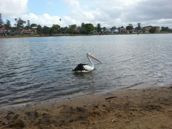 NRMA Sydney Lakeside Holiday Park Narrabeen: the local pelican