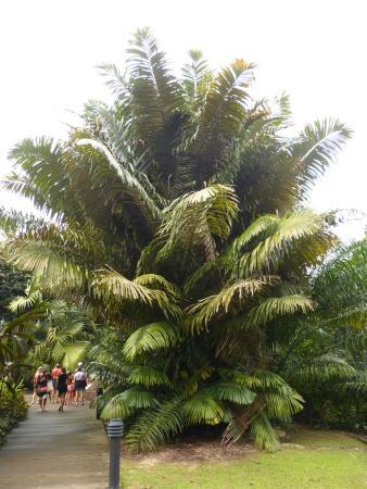 Palmier photo de jardin botanique de singapour for Au jardin les amis singapore botanic gardens