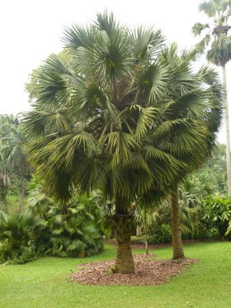 Arbre photo de jardin botanique de singapour singapour for Jardin botanique singapour