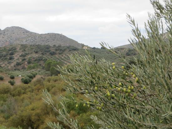 Casa Olea: Olive trees on the property