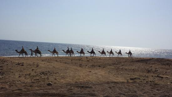 The Bedouin Moon Hotel : Camel train passing