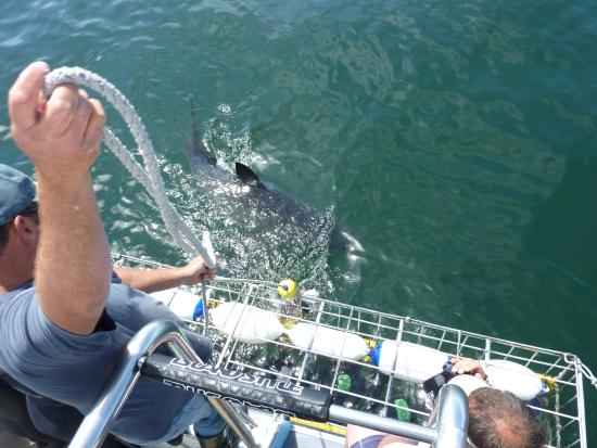 Shark Cage Diving South Africa: They get this close