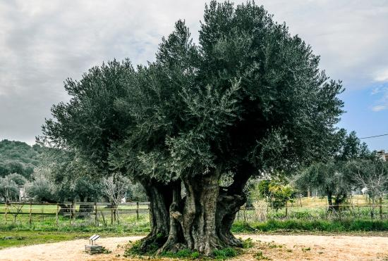 Horta da Moura - Hotel Rural: Oliveira 2450 anos / 2450 years old olive tree