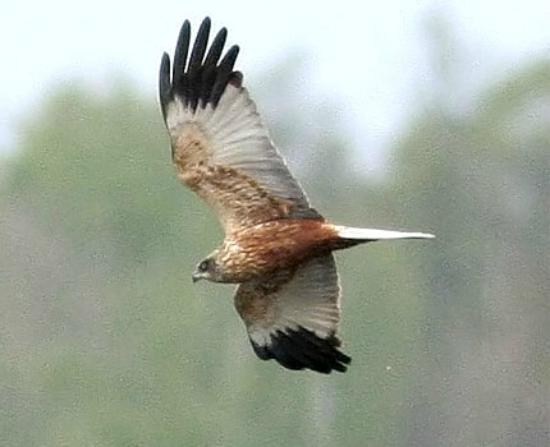 Walking in Etruria : Marsh Harrier
