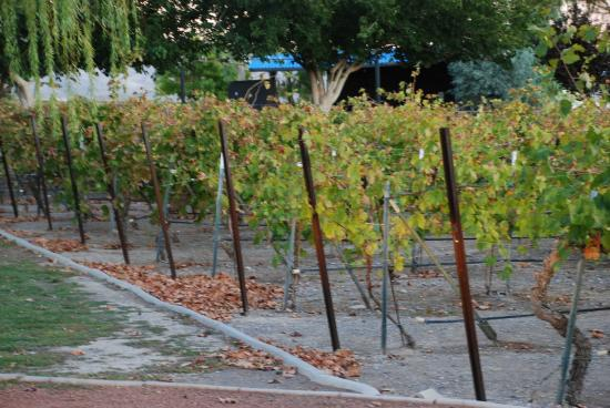Pahrump Valley Winery: The Vines