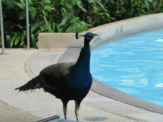 Hilton Phuket Arcadia Resort & Spa: Resident Peacock