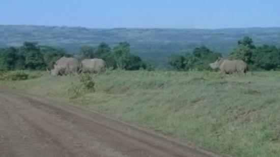 Lakira Camp: White Rhino-Rare view from the early morning drive