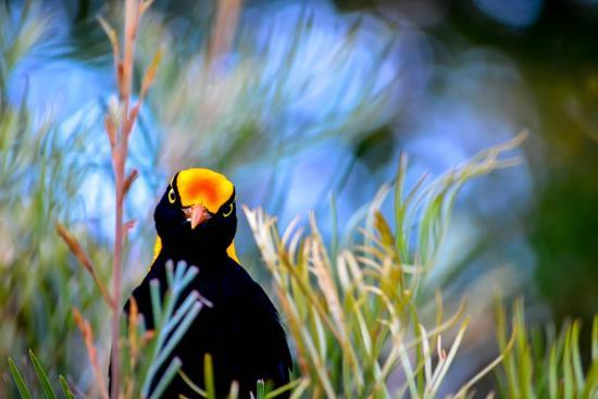 Canungra, ออสเตรเลีย: Regent Bowerbird