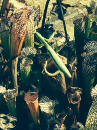 North Carolina Botanical Garden: preying mantis