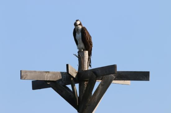 Wa-Wen Resort : Osprey