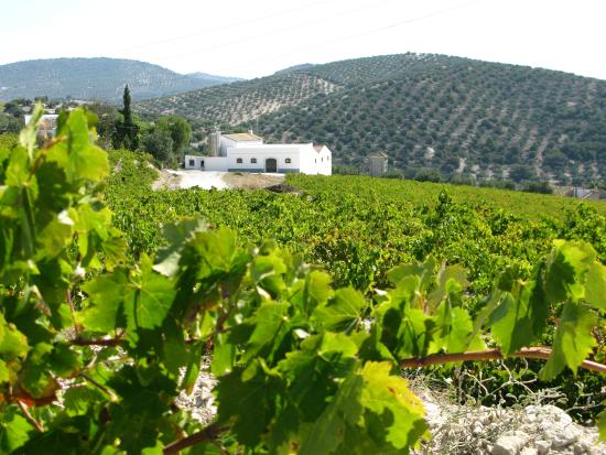 Montilla, Spain: Viñedo/Vineyard