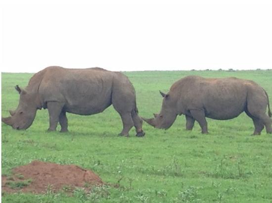 Bonana Tours & Transfers: Tala Game Park... white rhinos