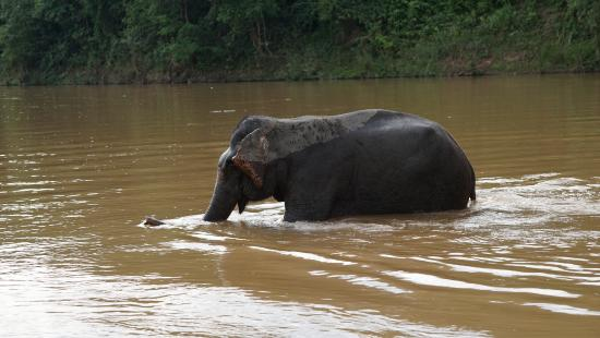 Shangri Lao : elephant taking bath in the river