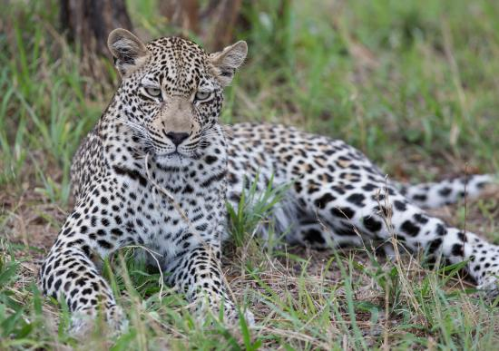 Ulusaba Rock Lodge : Leopard