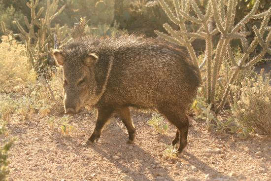 Starr Pass Golf Suites: Javelina at our back door.