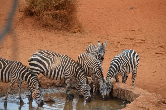 Gamewatchers Adventure Camp, Selenkay: zebras at the water hole