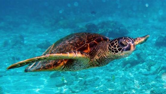 Green Island Resort : Turtle on Green Island