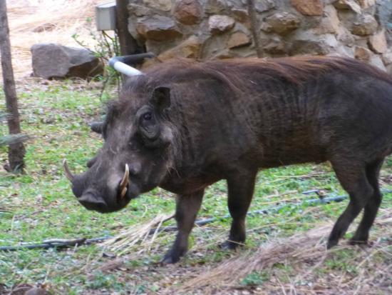 Phumula Kruger Lodge: warthog right outside our room