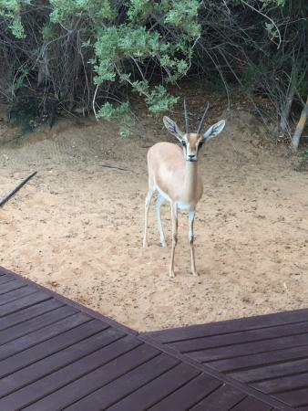 Al Maha, A Luxury Collection Desert Resort & Spa: The little antelope visiting our suite