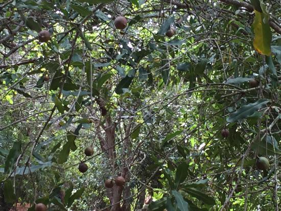 Molokai, Hawái: Macadamia nut tree