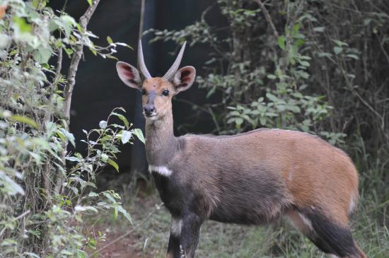 Nairobi Tented Camp: Bushbuck that walked in