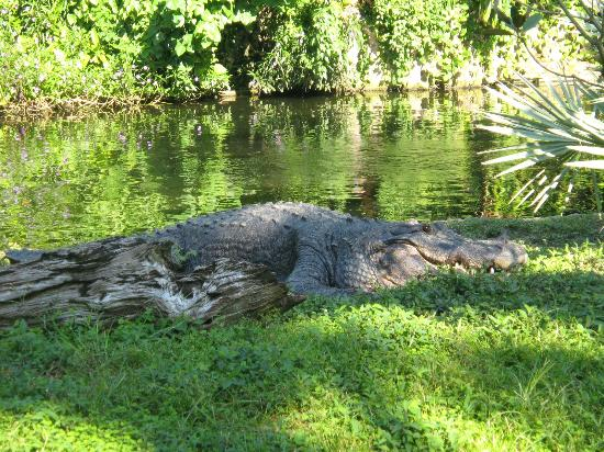 Big Croc at Busch Gardens Tampa Picture of Busch Gardens Tampa