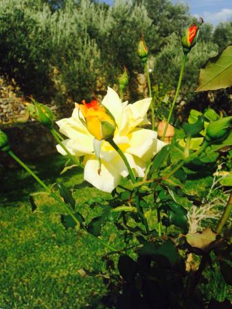 Villa Galini Lindos: Roses in the garden