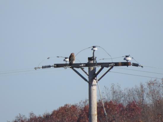 Schellsburg / Shawnee Loop: Red Shouldered Hawk on pole at lake.