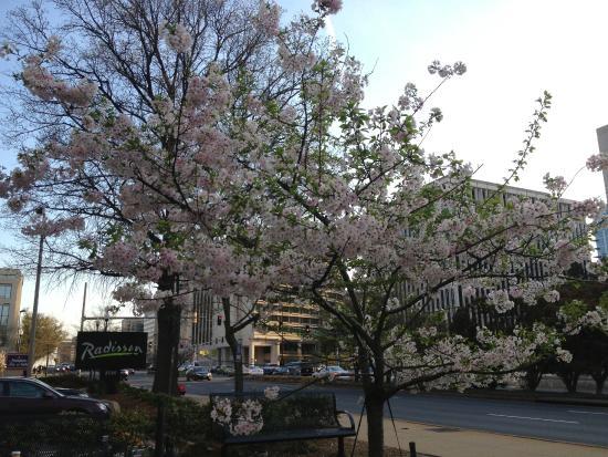 Cherry blossom picture of hilton garden inn reagan national airport hotel arlington tripadvisor for Hilton garden inn reagan national airport