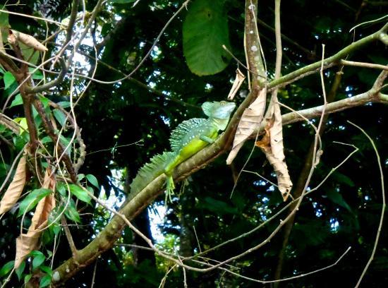 Tortuguero Wildlife Tour: The beautiful Basilisk Lizard