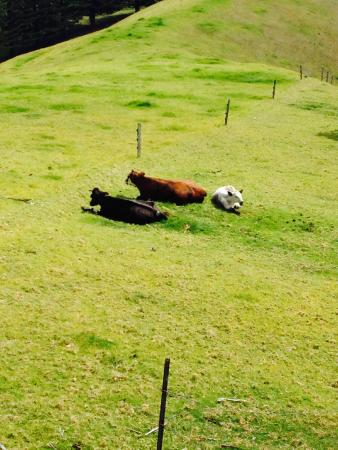 Panorama Seaside Apartments: The cows
