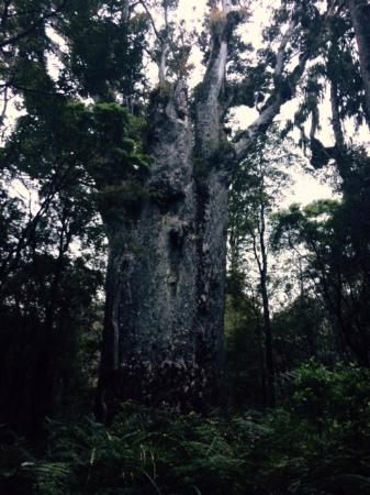 Footprints Waipoua : Fabulous tree -