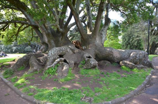 Albert Park: Massive tree