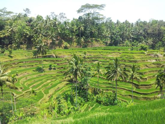 Rice fields picture of tegalalang rice terrace ubud for Tegalalang rice terrace ubud