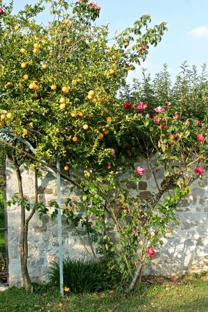 Villa Domus Magna : splendid roses and orange trees