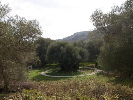 Monumental Olive Tree of Samonas